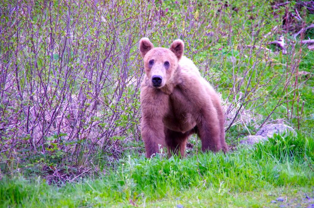Alaska 1. Bär 2016 (I)
