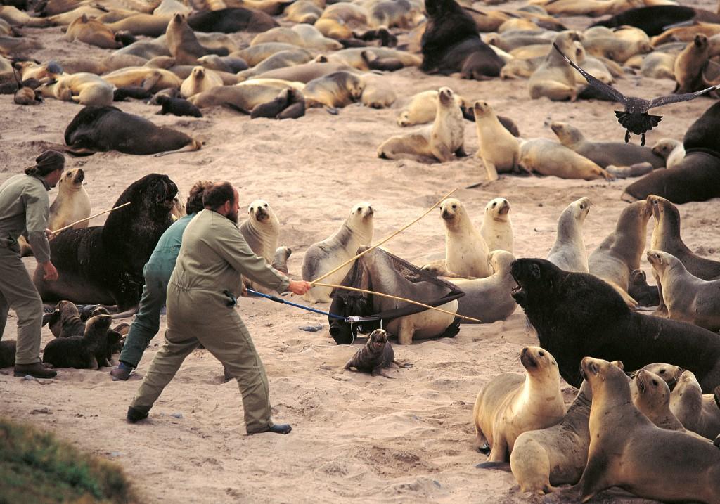 Auckland Island: Wissenschaftler fangen ein Hooker-Seelöwenweibchen und sein Junges ein, um sie mit Messgeräten auszustatten.