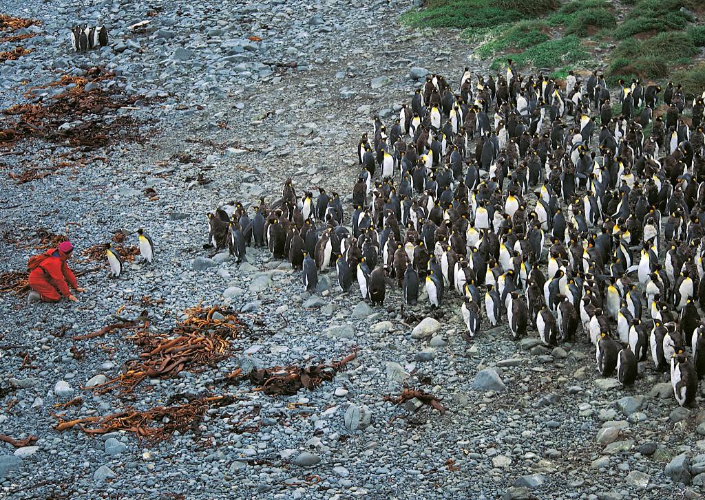 Auf Macquarie begrüßen uns Königspinguine. Eine Vorhut sondiert erst einmal die Lage.