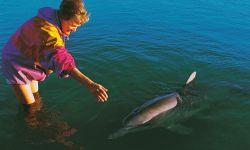 Heide mit Delphin in der Shark Bay, Australien