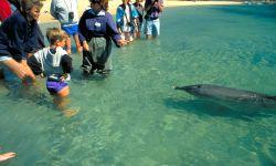 Wilde Delphine in der Shark Bay
